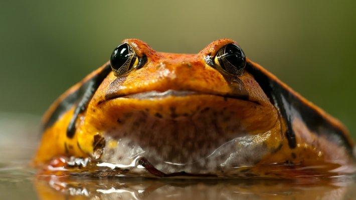 Опасный грибок Bd, прозванный «чумой амфибий», может полностью истребить лягушек и жаб по всему миру