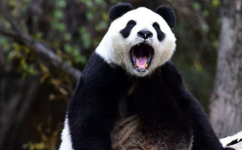 ИИ будет распознавать лица панд в Китае